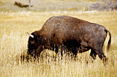 Buffaloes. Yellowstone National Park. Wyoming. United states (USA)