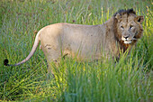 Lion eating a wildebeest. Game drive in the Phinda private park. Kwazulu-Natal province. South Africa