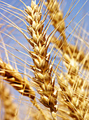Agriculture, Aliment, Aliments, Background, Backgrounds, Biological, Botany, Carbohydrates, Cereal, Cereals, Close up, Close-up, Closeup, Color, Colour, Country, Countryside, Crop, Crops, Daytime, Detail, Details, Ear, Ears, Economy, Exterior, Farming, F