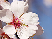 Agriculture, Allergy, Almond tree, Angiosperm, Angiosperms, Bloom, Blossom, Blue, Botany, Close up, Close-up, Closeup, Color, Colour, Daytime, Delicate, Detail, Details, Ephemeral, Exterior, Flower, Flowers, Horizontal, Horticulture, Nature, Outdoor, Out