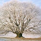 Frost-covered beech (Fagus Sylvatica). Bavaria. Germany