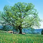 Linden in spring. Bavaria. Germany