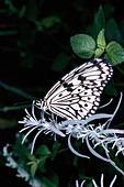 White Tree Nymph (Idea leuconoe). India