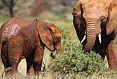 African Elephant and young. Samburu Game Reserve. Kenya