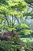 Canada, British Columbia, Vancouver. Van Dusen botanical garden. Fullmoon maple tree (Acer sp.)