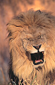 Lion (Panthera leo). Kruger NP. South Africa