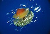 Jellyfish (Cotylorhiza tuberculata), Mediterranean Sea