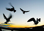 Animal, Animals, Aquatic bird, Aquatic birds, Bird, Birds, Blurred, Color, Colour, Dusk, Exterior, Fish eye, Fish-eye, Fisheye, Flight, Flights, Fly, Flying, Four, Four animals, Group, Groups, Gull, Gulls, Horizontal, Marine bird, Marine birds, Motion, M