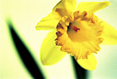 Botany, Close up, Close-up, Closeup, Color, Colour, Daffodil, Daffodils, Detail, Details, Flower, Flowers, Horizontal, Horticulture, Indoor, Indoors, Inside, Interior, Narcissus, Nature, One, Plant, Plants, Special effects, Yellow, B75-287176, agefotosto