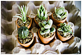 Botany, Cactus, Close up, Close-up, Closeup, Color, Colour, Concept, Concepts, Egg box, Egg boxes, Flowerpot, Flowerpots, Horticulture, Indoor, Indoors, Interior, Little, Miniature, Miniatures, Plant, Plants, Pot, Pots, Six, Small, Still life, Succulent,