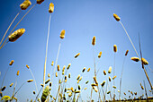 Blue, Blue sky, Close up, Close-up, Closeup, Color, Colour, Country, Countryside, Daytime, Delicate, Detail, Details, Exterior, Field, Fields, Fragile, Fragility, Nature, Outdoor, Outdoors, Outside, Plant, Plants, Scenic, Scenics, Skies, Sky, Vegetation,