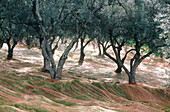 Nets for gathering fallen olives at field. Corsica Island. France