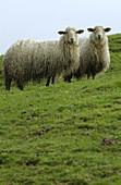 Agriculture, Animal, Animals, Basque Country, Color, Colour, Country, Countryside, Daytime, Europe, Euskadi, Euskal Herria, Exterior, Farm animals, Farming, Gipuzkoa, Graze, Grazing, Guipuzcoa, Herbivore, Herbivores, Herbivorous, Latxas, Livestock, Looki