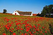 Field of blooming poppy near Ystad in Skane, southern Sweden