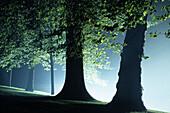 Außen, Baum, Bäume, Baumstamm, Baumstämme, Blatt, Blätter, Dicht, Farbe, Geheimnis, Geheimnisvoll, Geräuschlosigkeit, Grün, Hintergrundbeleuchtung, Nacht, Natur, Nebel, Niemand, Ökosystem, Ökosysteme, Rücklicht, Ruhe, Ruhig, Silhouette, Silhouetten, Stam