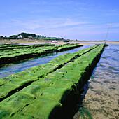 Oyster farm and Green Algae. Bretagne. France