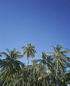 Blue, Blue sky, Color, Colour, Daytime, Exterior, Low angle view, Nature, Outdoor, Outdoors, Outside, Palm, Palm tree, Palm trees, Palms, Skies, Sky, Travel, Travels, Tropical, Vegetation, View from below, World locations, World travel, Worm s eye view,