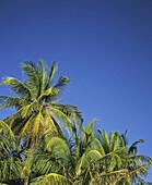 Außen, Blau, Blauer Himmel, Farbe, Froschperspektive, Himmel, Länder, Natur, Palme, Palmen, Plätze der Welt, Reisen, Tageszeit, Tropisch, Vegetation, C01-520513, agefotostock