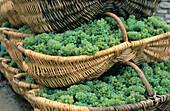 Grape picking baskets. Bourgogne. France