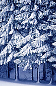 Color, Colour, Concept, Concepts, Covered, Daytime, Detail, Details, Exterior, Forest, Forests, Grove, Groves, Nature, Outdoor, Outdoors, Outside, Perennial, Plant, Plants, Season, Seasons, Snow, Snowy, Tree, Trees, Vegetation, Vertical, White, Winter, W