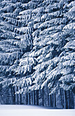 Canopy, Color, Colour, Covered, Daytime, Detail, Details, Exterior, Forest, Forests, Nature, Outdoor, Outdoors, Outside, Perennial, Scenic, Scenics, Season, Seasons, Snow, Snow-covered, Snowcovered, Snowy, Tree, Trees, Vegetation, Vertical, White, Winter