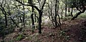 Holm oaks. Girona province, Spain