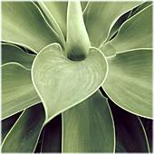 Background, Backgrounds, Botany, Close up, Close-up, Closeup, Color, Colour, Daytime, Detail, Details, Green, Leaf, Leaves, Natural background, Natural backgrounds, Nature, Plant, Plants, Vertical, C41-332441, agefotostock