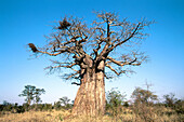 Baobab (Adansonia digitata). Kruger National Park, South Africa. Common in the northern part of the park