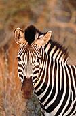 Burchell s Zebras (Equus burchelli) in the evening light. Kurger National Park. South Africa