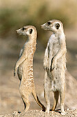 Meerkat or suricate (Suricata suricatta) female with young on the lookout at the edge of their burrow. Kgalagadi Desert. Southeast Namibia