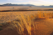 Landscape with Bushman grass (Stipagrostis sp.) and Camelthorn trees (Acacia erioloba), at the edge of the Namib desert. In area of the excusive Wolwedans Dunes Lodge in a beautiful setting in the private Namib Rand Nature Reserve in Namibia