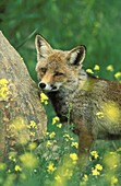 Red fox (Vulpes vulpes), male, in spring with yellow-flowered annuals in the Sierra de Aracena, which is part of the vast Sierra Morena. Province of Huelva, Andalucía, Spain.