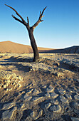 Dead camelthorn tree (Acacia erioloba) in the so-called Dead Vlei , a dry pan in the centre of the Namib Desert. Namib-Naukluft Park, Namibia.