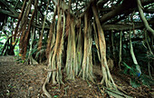 Giant Banyan tree in the Valley of the Shadows