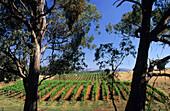 Weinanbaugebiet nahe dem Ort Tumbarumba, New South Wales, Australien