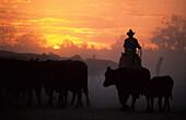 Cattle drive on Cowarie Station on the Birdsville Track, South Australia, Australia