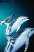 Lagenorhynchus obscurus. Southern dusky dolphin underwater in Peninsula Valdez. Patagonia.