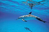 Young male spotted dolphin underwater. Bahamas.