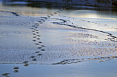 Polar Bear tracks on ice in late fall just outside. Churchill, Manitoba, Canada.