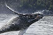 Humpback whale calf (Megaptera novaeangliae) breaching in Southeast Alaska, USA. Pacific Ocean.