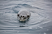 An adult Leopard Seal (Hydrurga leptonyx) in and around the Antarctic Peninsula. This is the only pinniped in the world known to have attacked and killed a human being.