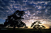 Rural scene with green pastures and gum trees at dawn, near Yanakie, Victoria, Australia