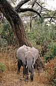 African elephant (Loxodonta africana). Tanzania