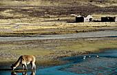 Alpaca (Lama pacos) drinking. Colca Valley. Peru
