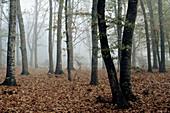 Orgui Forest. Oakwood (Quercus). Ulzama Valley. Navarra. Spain