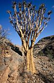 Quiver tree (Aloe dichotoma). Kalahari desert. Namibia