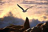 Afro-australian fur seal (Arctocephalus pusillus) and gull. Namib Desert Coast. Namibia