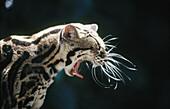 Margay (Leopardus wiedii). Curú, Costa Rica