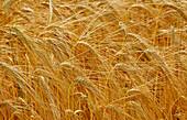 Barley ready for harvest. Hertfordshire. England