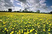 Dandelions (Taraxacum officinale). Uncultivated arable fields. UK